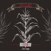 Corn aka Maize or Zea mays sketch on black. Cereal plants collection.