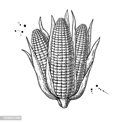Corn bunch hand drawn vector illustration. Isolated maize sketch. Vegetable engraved style object. Detailed vegetarian food drawing. Farm market product. Great for menu, label, icon