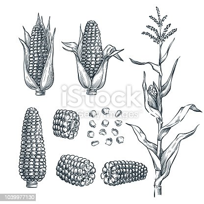Corn cobs, grain, vector sketch illustration. Cereal agriculture, hand drawn isolated design elements.