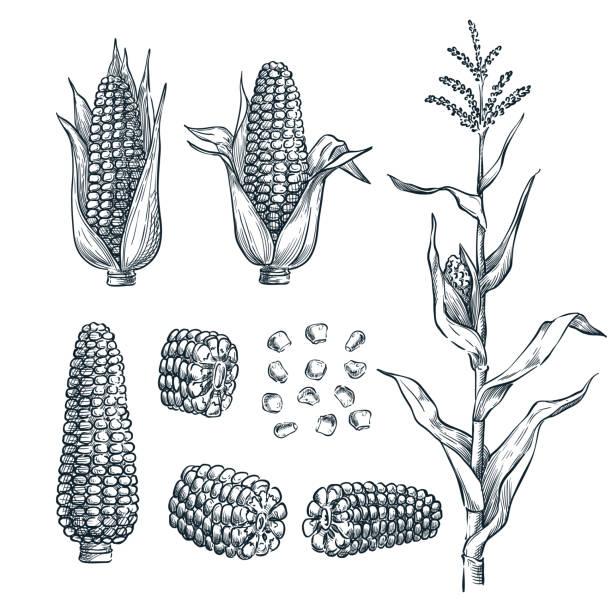 ilustrações de stock, clip art, desenhos animados e ícones de corn cobs, grain, vector sketch illustration. cereal agriculture, hand drawn isolated design elements - milho