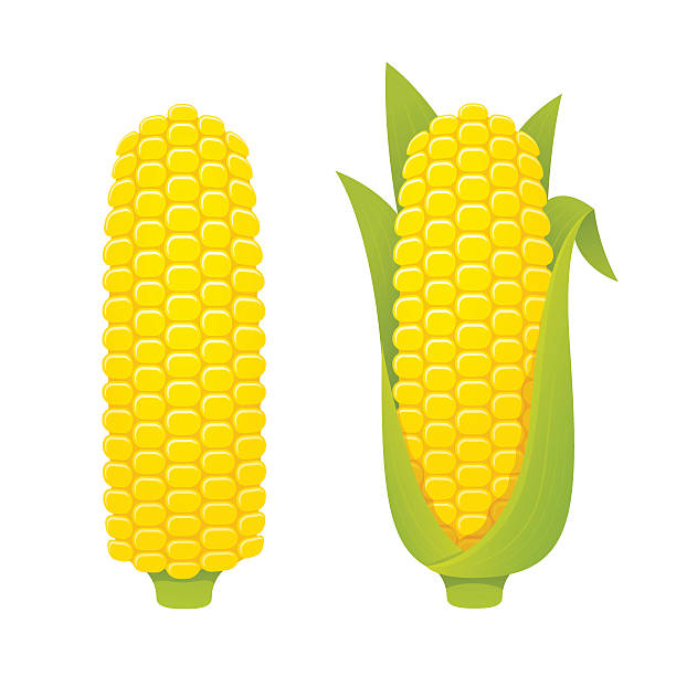 Corn cobs illustration vector art illustration