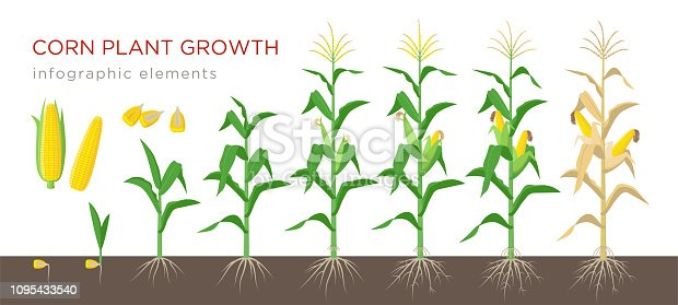 Corn growing stages vector illustration in flat design. Planting process of corn plant. Maize growth from grain to flowering and fruit-bearing plant isolated on white background. Ripe corn and grains