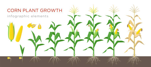 Corn growing stages vector illustration in flat design. Planting process of corn plant. Maize growth from grain to flowering and fruit-bearing plant isolated on white background. Ripe corn and grains. Corn growing stages vector illustration in flat design. Planting process of corn plant. Maize growth from grain to flowering and fruit-bearing plant isolated on white background. Ripe corn and grains crop plant stock illustrations