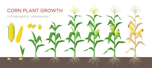 ilustrações, clipart, desenhos animados e ícones de estágios de crescimento de milho vector ilustração no projeto liso. plantio de processo da planta de milho. crescimento de milho de grão a floração e frutificação da planta isolado no fundo branco. milho maduro e grãos. - corn farm