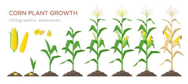 ilustrações de stock, clip art, desenhos animados e ícones de corn growing stages vector illustration in flat design. planting process of corn plant. maize growth from grain to flowering and fruit-bearing plant isolated on white background. ripe corn and grains. - milho