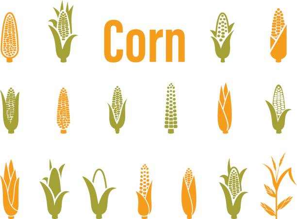 Corn icons. Vector illustration isolated on white background. Corn icons. Vector illustration isolated on white background. Concept for organic products label, harvest and farming, grain, bakery, healthy food. corn crop stock illustrations