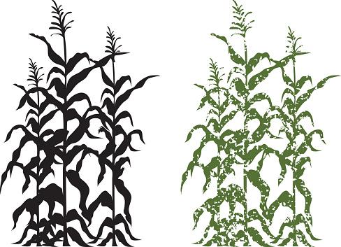 Corn Stalk Plants in Black and Green Grunge Vector Illustration
