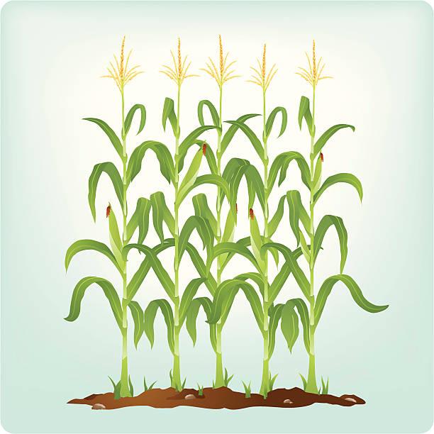 corn stalks - corn field stock illustrations, clip art, cartoons, & icons
