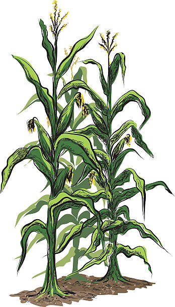 corn stalks with tassels and illustration isolated on white background - corn field stock illustrations, clip art, cartoons, & icons