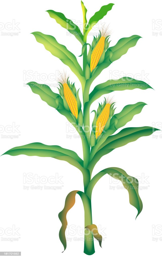 royalty free corn plant clip art  vector images corn stalk clipart free 1200 x 1200 corn stalk clipart black and white