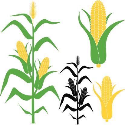 Espiga De Milho - Arte vetorial de stock e mais imagens de Agricultura