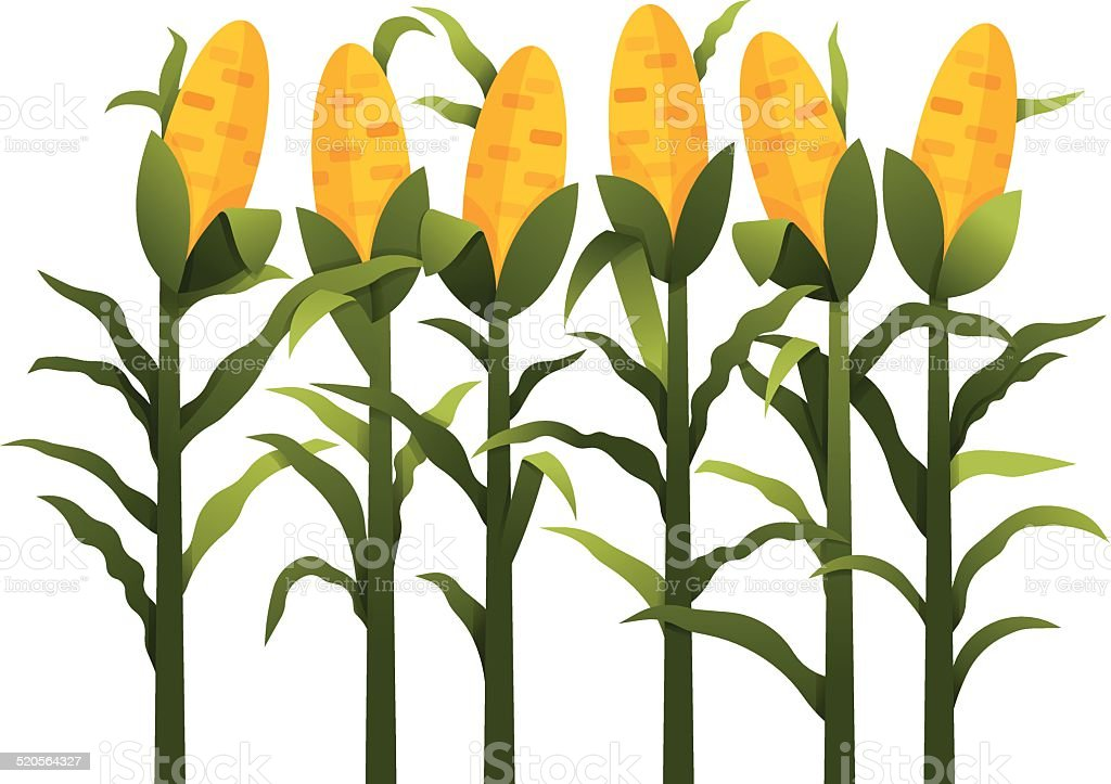 royalty free corn stalk white background clip art vector images rh istockphoto com corn stalk clip art free Corn Stalk Silhouette