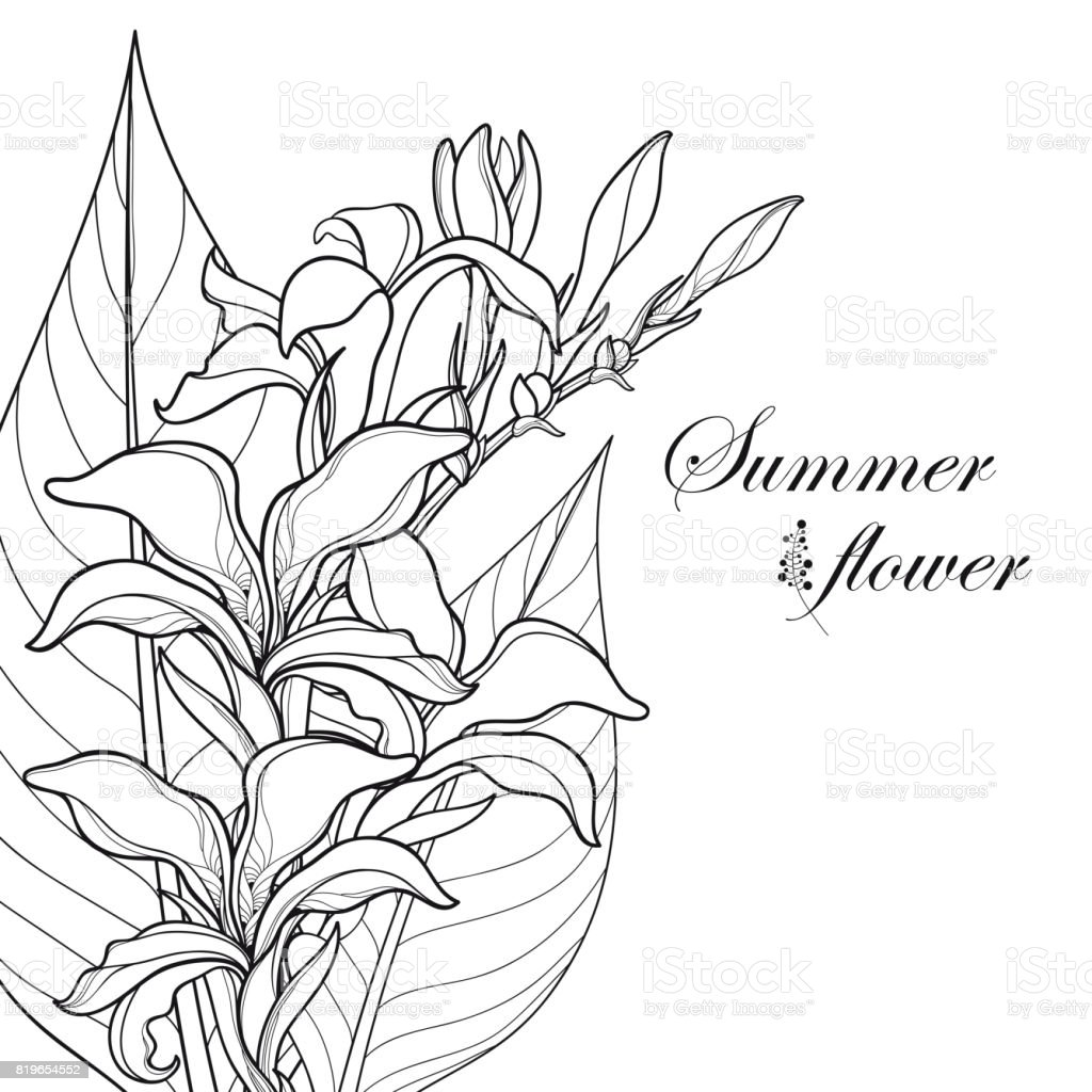 Corner Composition Of Bouquet With Outline Canna Lily Flower Bud And