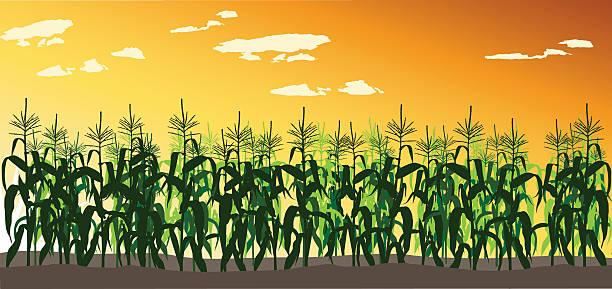 cornfield - corn field stock illustrations, clip art, cartoons, & icons