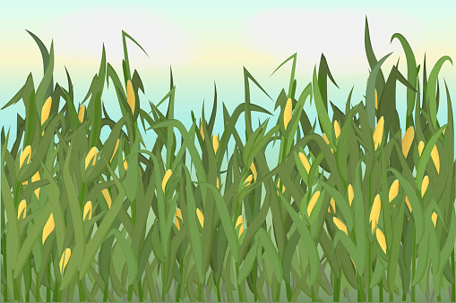 A cornfield with ripe cobs against a blue sky. Background image. Vector illustration.