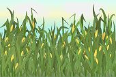 istock A cornfield with ripe cobs against a blue sky. Background image. Vector illustration. 1227224465