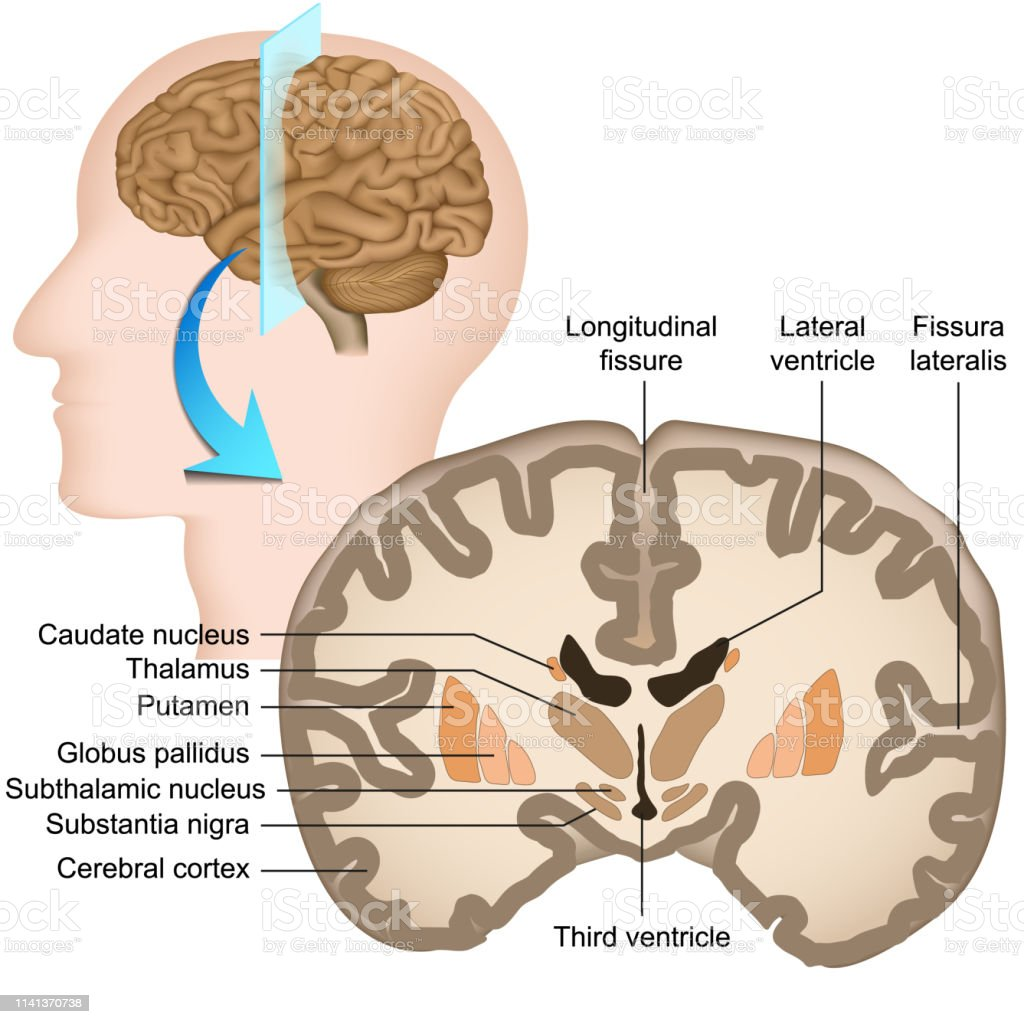 Coronal Section Of The Human Brain Medical Vector ...