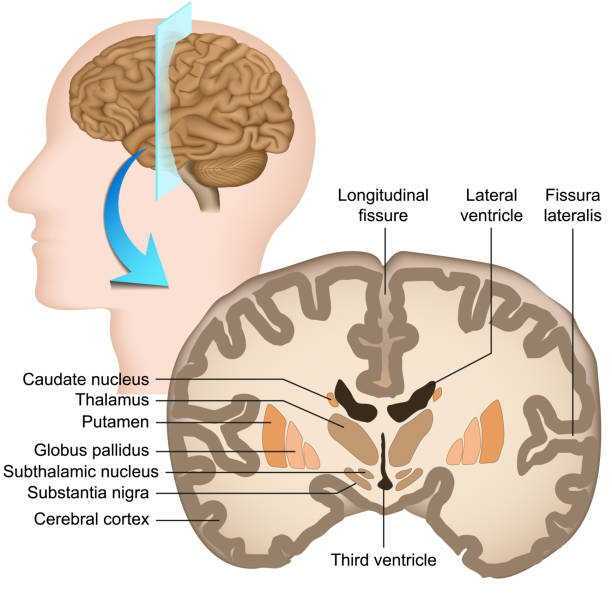 Coronal section of the human brain medical vector illustration Coronal section of the human brain medical vector illustration eps 10 lateral ventricle stock illustrations