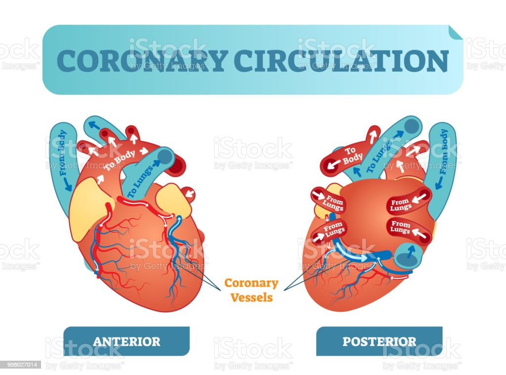Coronary circulation anatomical cross section diagram, labeled vector illustration scheme. Blood flow circuit from body through heart and lungs and back to the body. vector art illustration