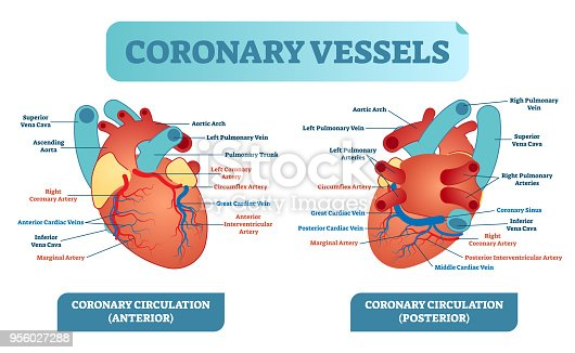Coronary Vessels Anatomical Health Care Vector ...