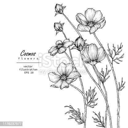 Sketch Floral Botany Collection. Cosmos flower drawings. Black and white with line art on white backgrounds. Hand Drawn Botanical Illustrations.Vector.