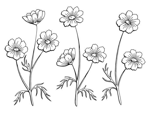 Royalty free white cosmos flower clip art vector images cosmos flower graphic black white isolated sketch illustration vector vector art illustration mightylinksfo