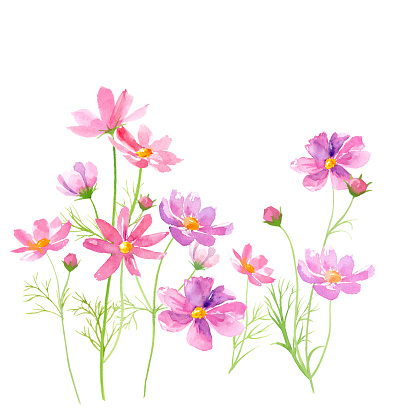 Cosmos flowers watercolor illustration trace vector