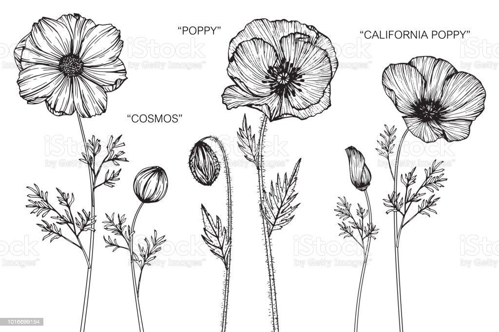 Cosmos Fleur De Coquelicot Pavot De Californie Dessin Illustration
