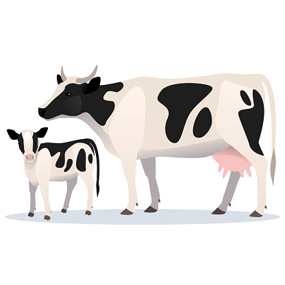 Cow and calf. Vector illustration of adult cow and her baby