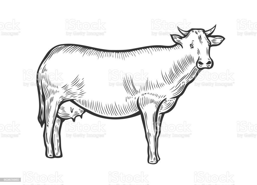 Cow animal Hand drawn vector art illustration