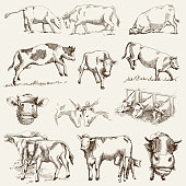 cow. animal husbandry