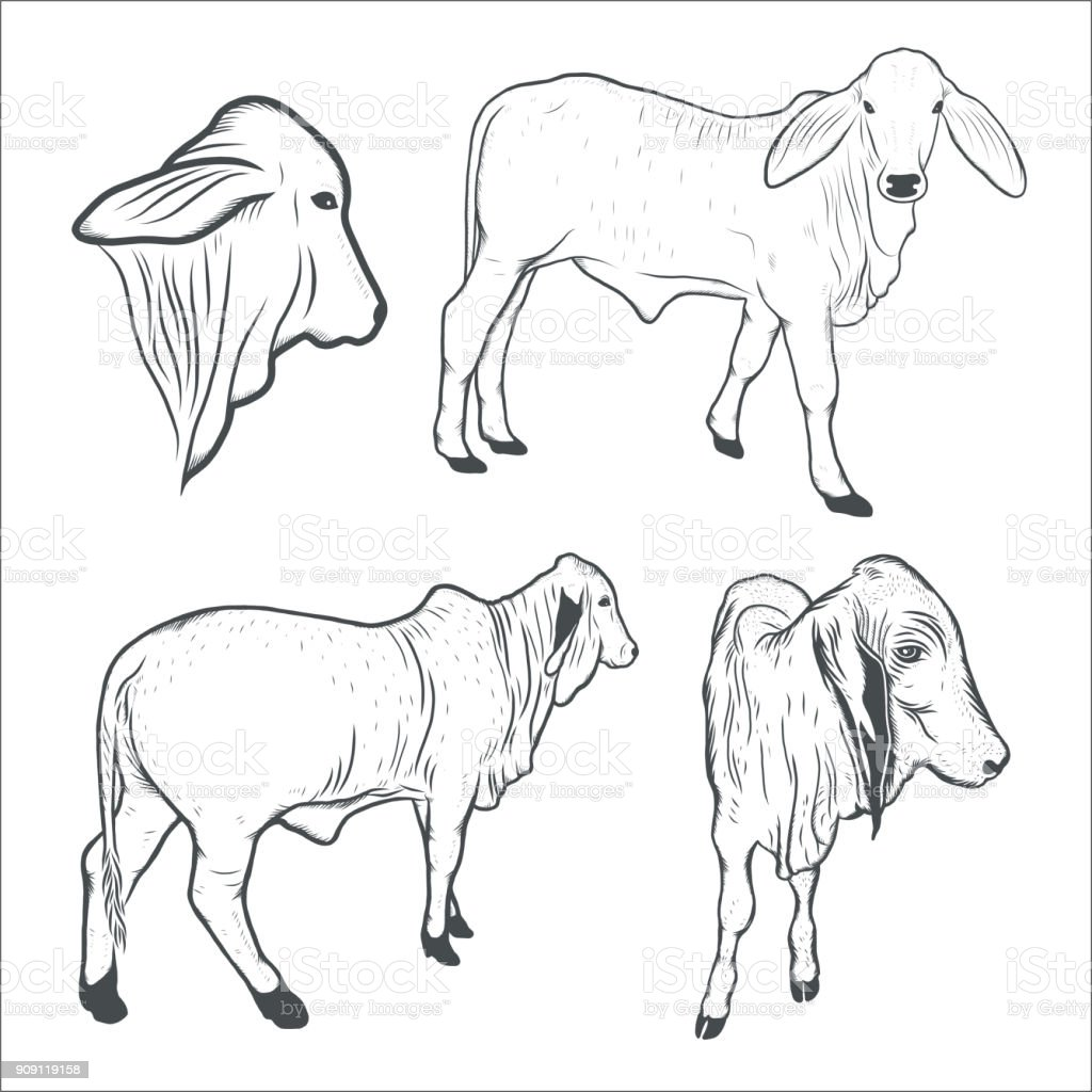 Kuh Kalb Zeichnen Vektorillustration Stock Vektor Art und mehr ...