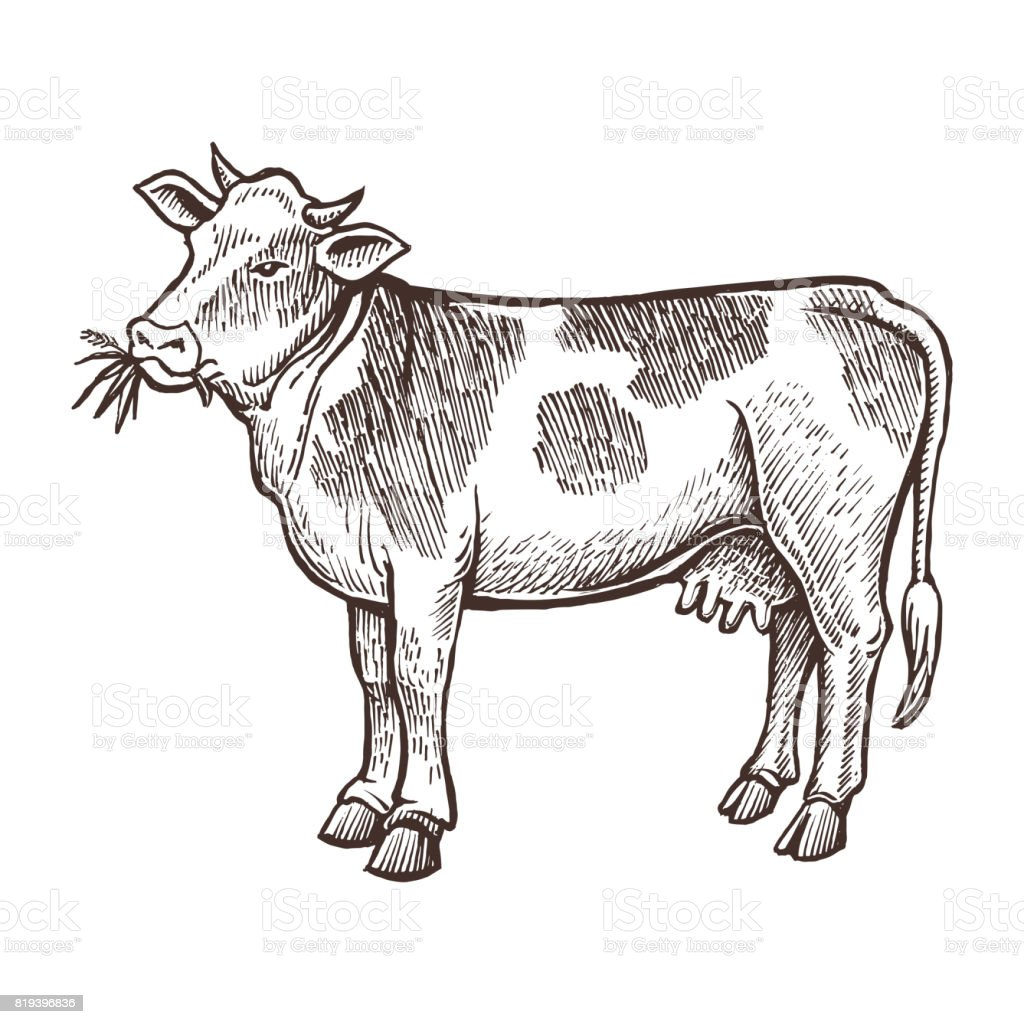 Cow farm animal sketch, isolated cow on the white background. Vintage style