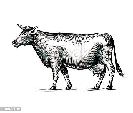 Cow hand drawn in elegant vintage engraving or etching style. Domestic animal isolated on white background. Farm cattle or livestock. Monochrome vector illustration for milk or dairy product logotype.