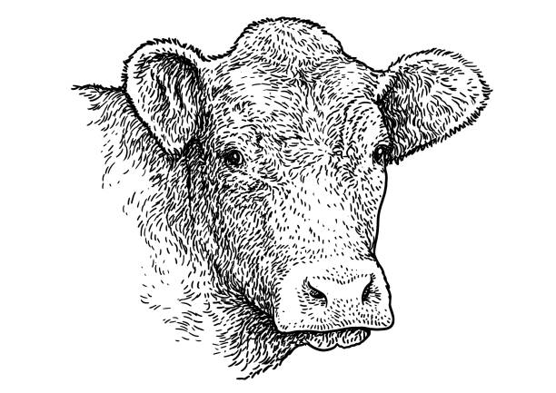 암소 머리 초상화 그림, 드로잉, 판화, 잉크, 라인 아트, 벡터 - 소 stock illustrations