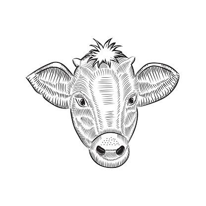 Cow head sketch vector illustration