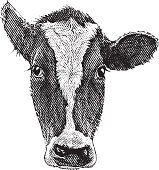Engraving of a cow head and face isolated on white background.