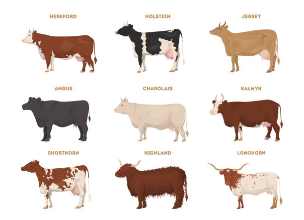 cow set. hereford, holstein. - cow stock illustrations, clip art, cartoons, & icons