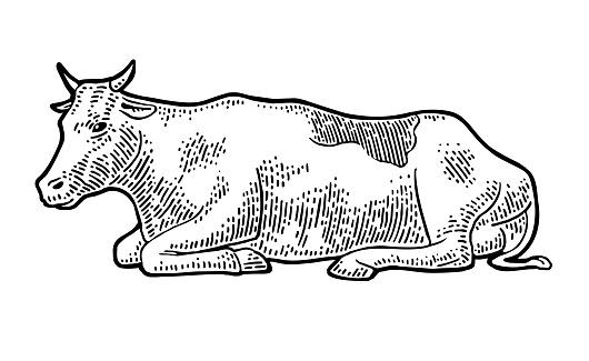 Cow. Vintage vector engraving illustration