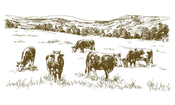 Cows grazing on meadow. Cows grazing on meadow. Hand drawn illustration. meadow stock illustrations