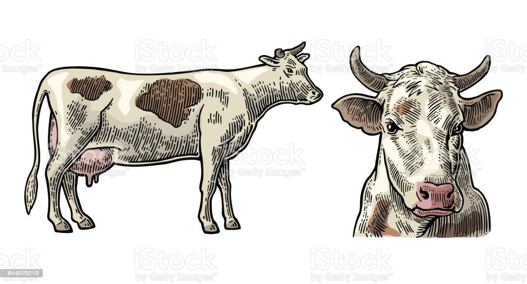 cows hand drawn in a graphic style vintage vector engraving