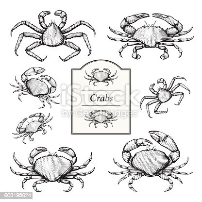 Vector Illustrations of Crabs in an etched/woodcut style.  Dungeness, Stone, Blue and King Crab.