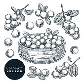 Cranberry berries sketch vector illustration. Cowberry harvest in bowl. Hand drawn agriculture and farm isolated design elements.
