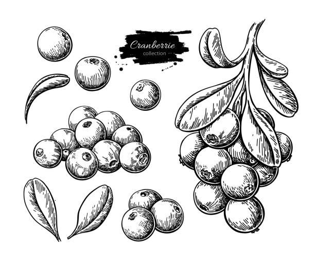 bildbanksillustrationer, clip art samt tecknat material och ikoner med tranbär vektorritning. isolerade berry gren skiss på vit bakgrund. - bär