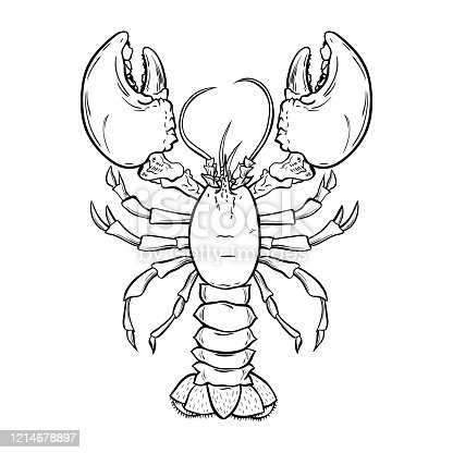 Lobster, crayfish hand drawn outline Illustration. Crawfish, crustacean ink pen sketch. Seafood restaurant delicacy. Underwater biology freehand drawing. Sealife isolated engraving design element