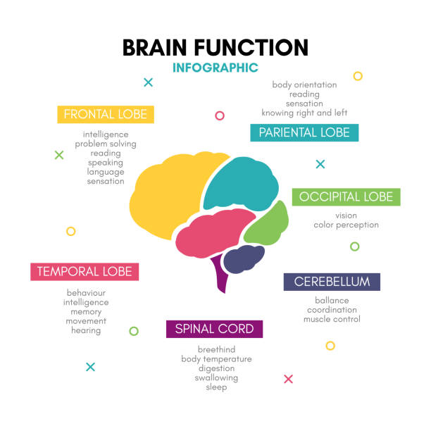 Creative human brain infographic concept lobe mind Creative human brain infographic. Psychology concept. Functions of the mind: intelligence, emotions, logic, memory, behaviour, learning. Frontal, temporal lobe, cerebellum, etc. neurodegenerative disease stock illustrations