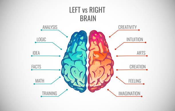 illustrazioni stock, clip art, cartoni animati e icone di tendenza di creative part and logic brain part vector illustration - mancino