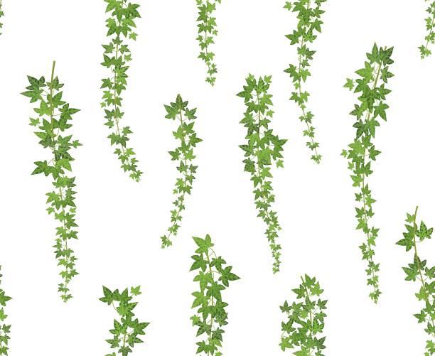 stockillustraties, clipart, cartoons en iconen met klimplant groene klimop. muur klimmen plant opknoping van bovenaf. tuin decoratie ivy wijnstokken. naadloze achtergrond afbeelding - klimop