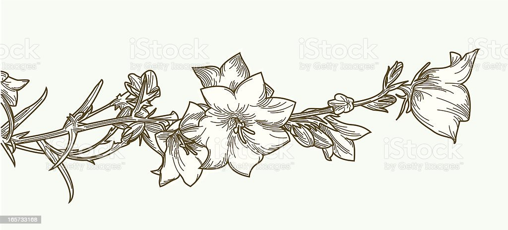 Creeping Clematis Vine and Flowers vector art illustration