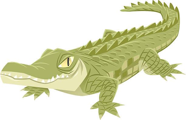 Crocodile Vector illustration of a crocodile on white background crocodile stock illustrations